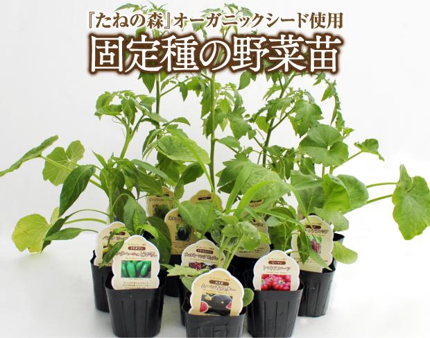固定種の野菜苗